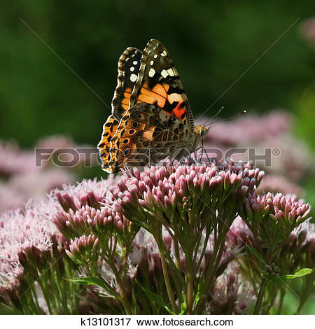 Picture of Painted Lady Vanessa cardui butterfly sitting on a.