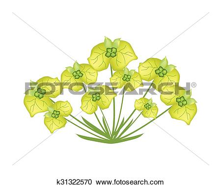 Clipart of Yellow Cypress Spurge or Euphorbia Cyparissias on White.