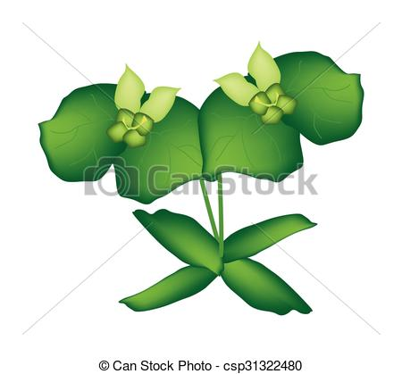 Vector of Two Green Cypress Spurge or Euphorbia Cyparissias.