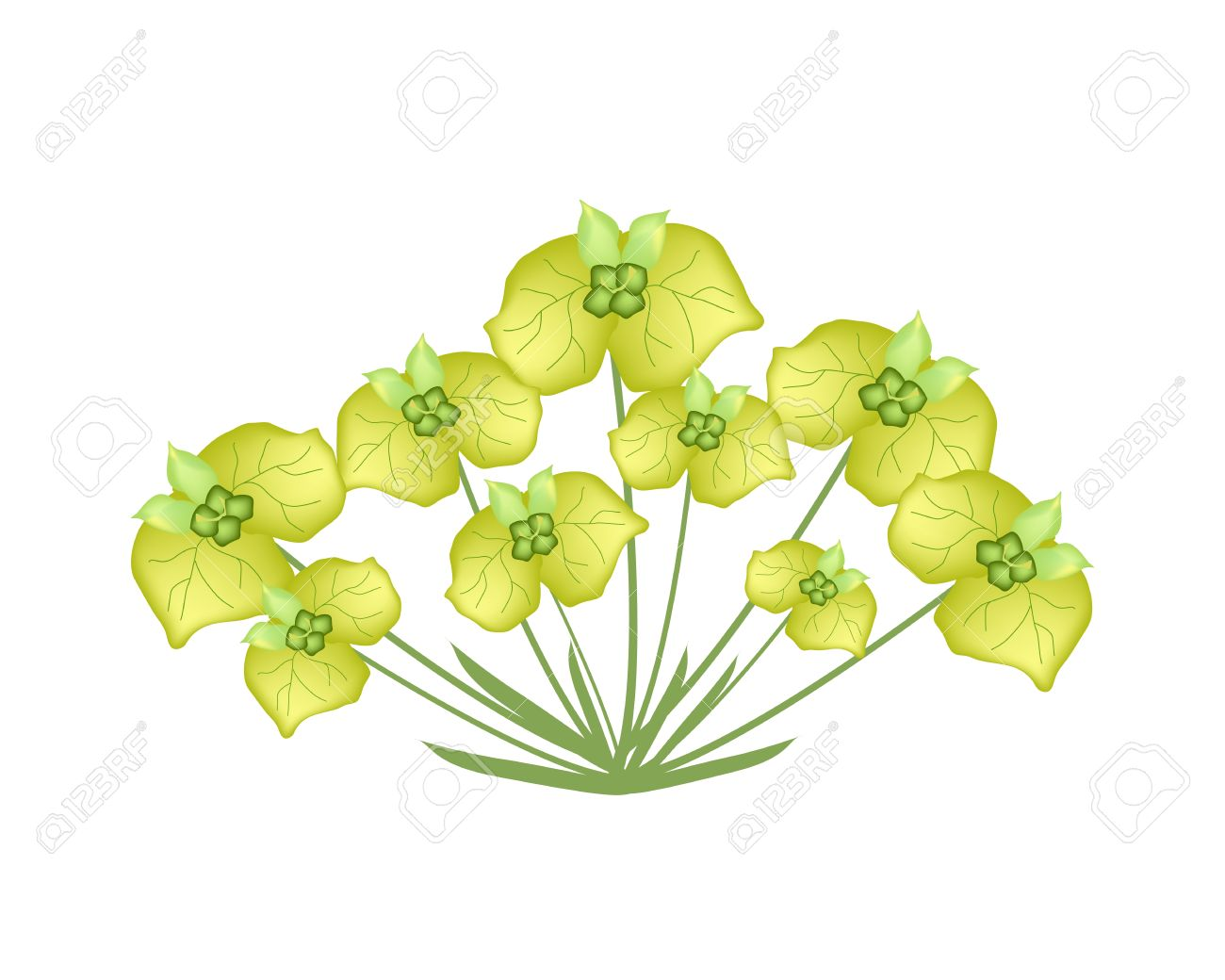 Illustration Of Yellow Cypress Spurge Or Euphorbia Cyparissias.