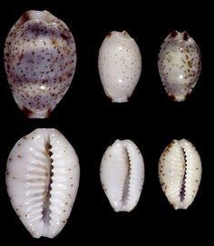 SEASHELL.CYPRAEA MILIARIS GMELIN Collectibles Sea Shell Big Size.