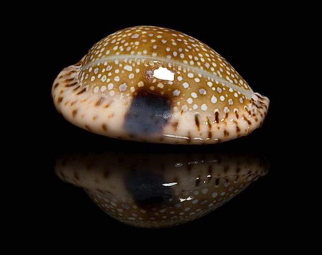 Erosaria nebrites nebrites, 26,4 mm ::: cypraea.eu ::: cypraea.com.