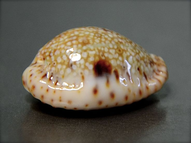 1000+ images about Cypraea on Pinterest.