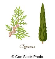 Cypress Illustrations and Stock Art. 701 Cypress illustration.