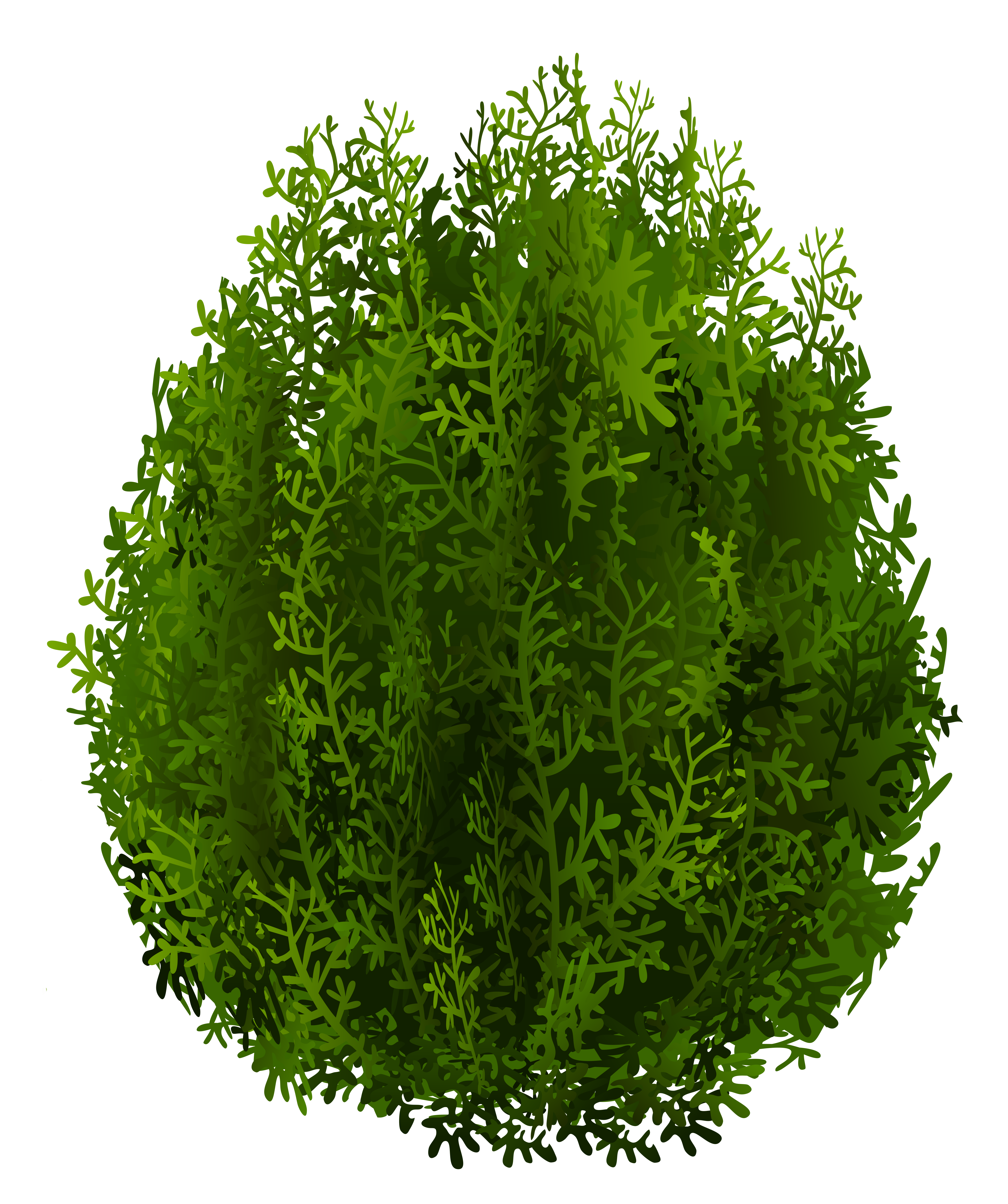 Cypress PNG Clipart Image.