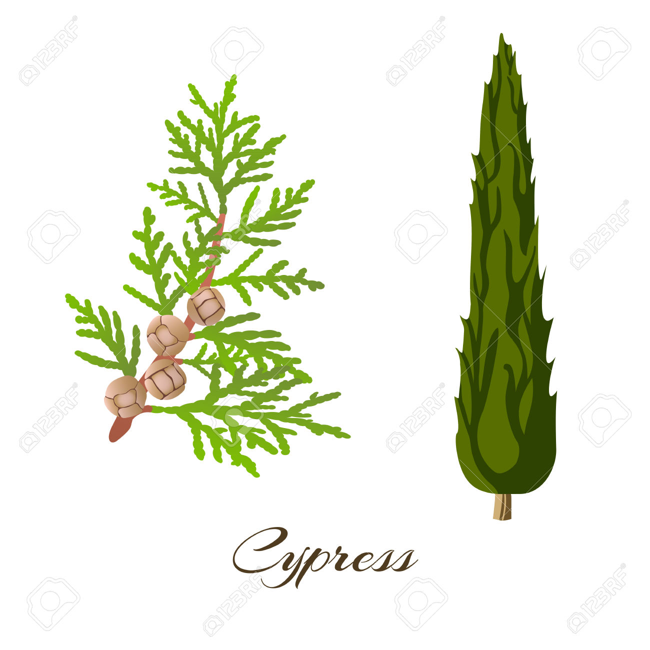 Cypress Clipart.