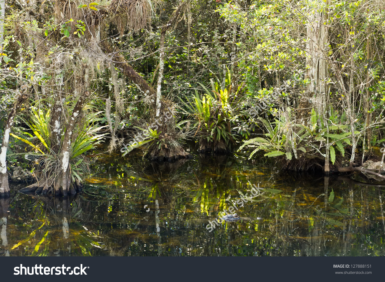 Everglades Big Cypress Swamp Overgrown Swamp Stock Photo 127888151.
