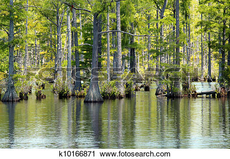 Stock Photography of Cypress swamp k10166871.