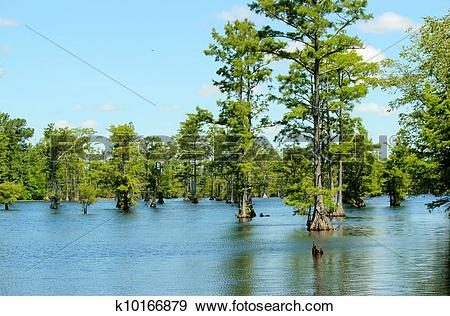 Stock Photograph of Cypress swamp 16 k10166879.