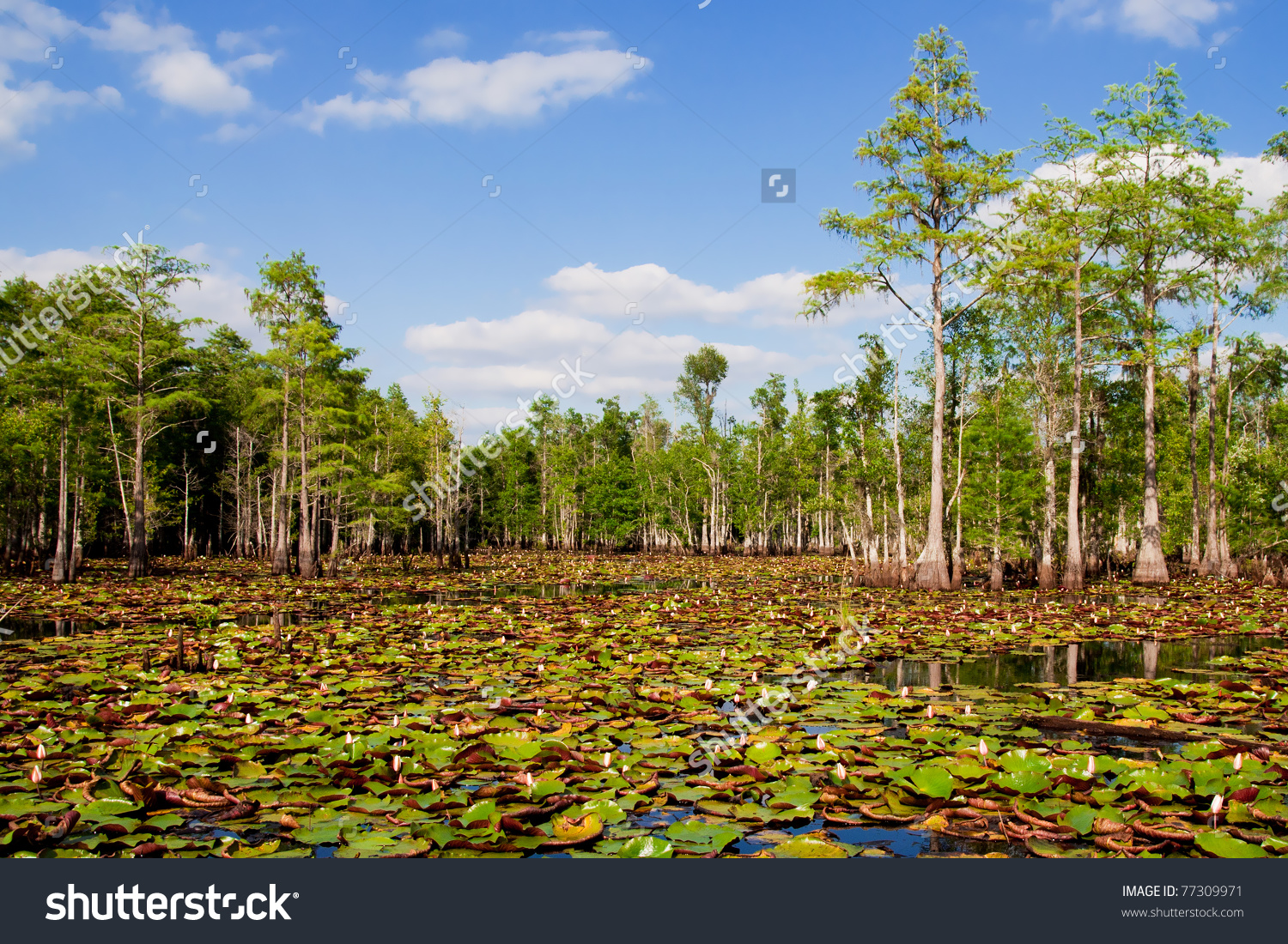 Lily Pads Blooming Flowers Florida Cypress Stock Photo 77309971.