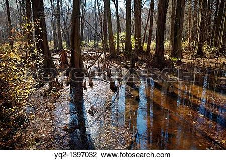 Stock Photo of The Battle Creek Cypress Swamp, the northernmost.