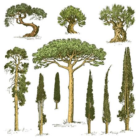 2,417 Cypress Tree Stock Vector Illustration And Royalty Free.