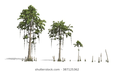 Cypress tree clipart 5 » Clipart Station.