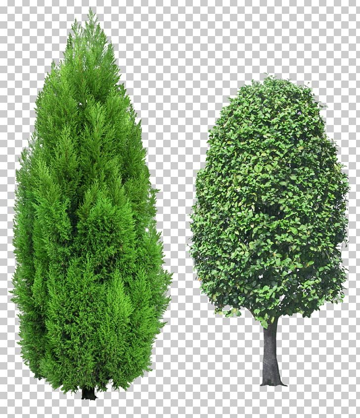Mediterranean Cypress Tree Evergreen PNG, Clipart, Biome, Clip Art.