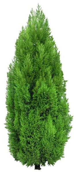 Cypress Tree PNG Clipart.
