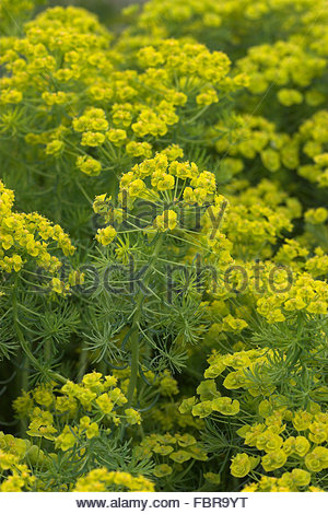 Spurge Stock Photos & Spurge Stock Images.