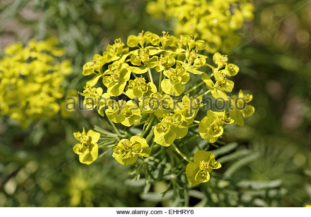 Cypress Spurge Stock Photos & Cypress Spurge Stock Images.
