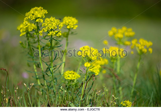 Cypress Spurge Euphorbia Cyparissias Stock Photos & Cypress Spurge.