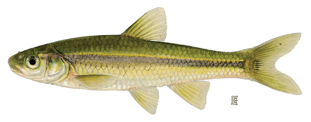 Minnow Family Cyprinidae.