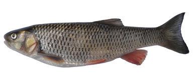 Cyprinidae Stock Illustrations.