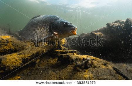 Cyprinidae Stock Photos, Royalty.