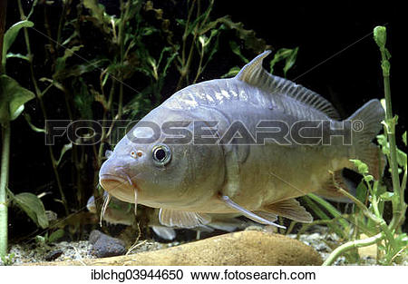 "Stock Photography of ""Common Carp (Cyprinus carpio carpio."