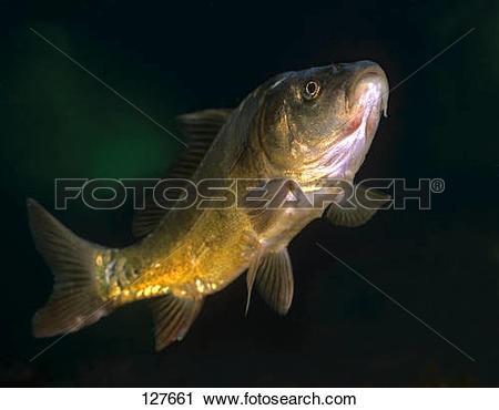 Stock Photography of Young carp / Cyprinus carpio 127661.