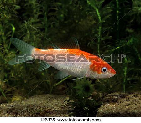 Stock Image of young koi / Cyprinus carpio 126835.