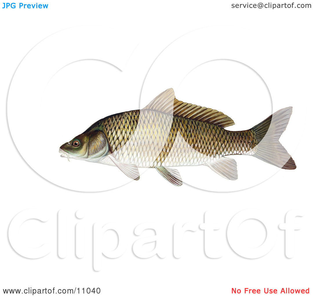 Clipart Illustration of a Common Carp or European Carp Fish.