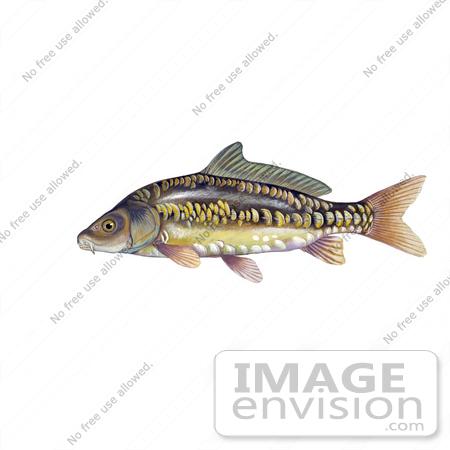 Clipart Image Illustration of a Mirror Carp Fish (Cyprinus carpio.