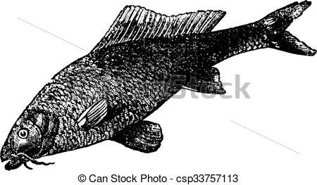 Vector Clip Art of Cyprinus carpio or common carp vintage.