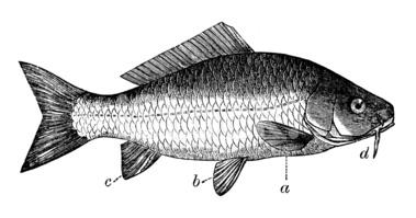 Antique Illustration of Common Carp (cyprinus Carpio) stock.