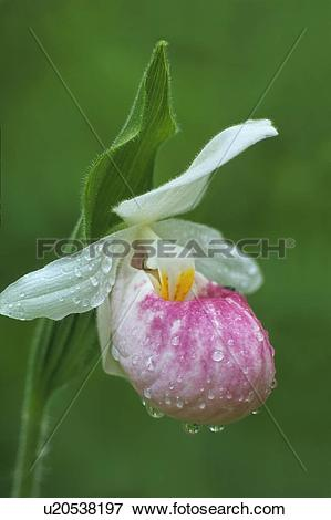Picture of Showy Lady Slipper Orchid (Cypripedium reginae) in the.