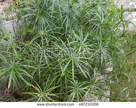 Cyperus Stock Photos, Royalty.