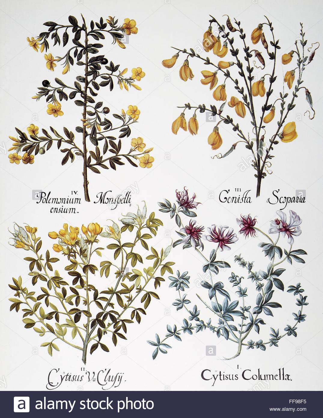Jasmine, 1613. /niv: Wild Jasmine (jasmium Fruticans); Iii: Broom.