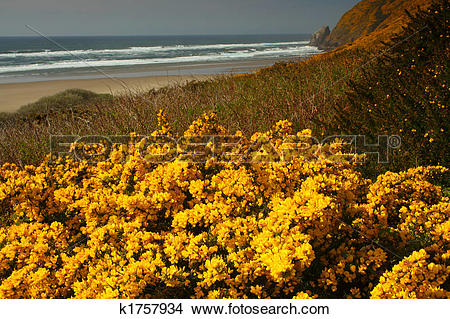 Stock Photo of Scotch Broom (cytisus Scoparius) k1757934.