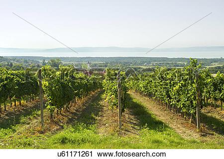 Stock Photography of Hungary, Veszprem, Dorgicse. Vineyards of the.