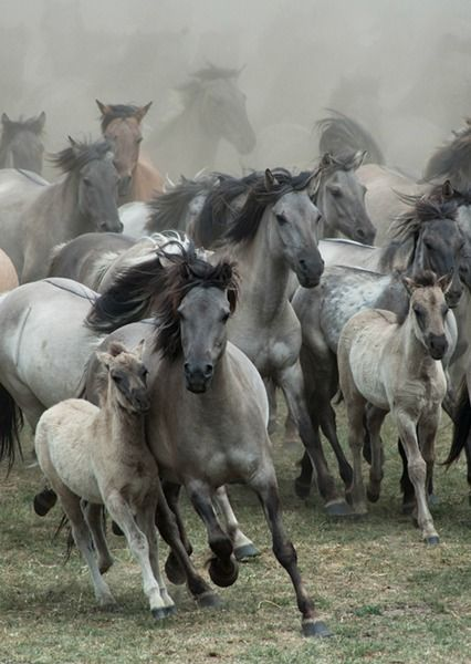 by Karen van Gerner A group of wild horses galloping right in my.