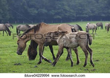 Stock Photo of Dulmen ponies, foal and mare, Merfelder Bruch.