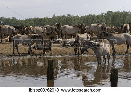 """Pictures of """"Duelmen wild horses at the water, Dulmen, North Rhine."""
