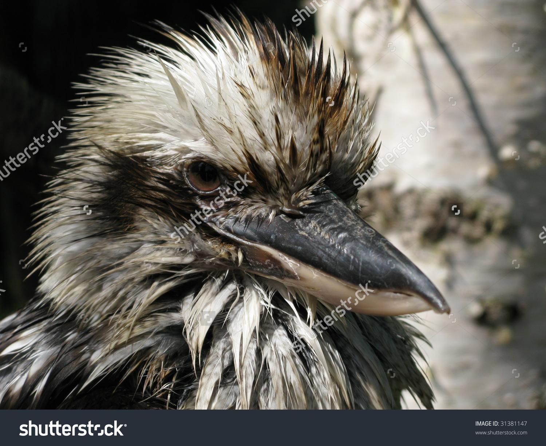The Laughing Kookaburra, Dacelo Novaeguineae, Is An Australian.