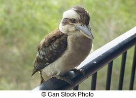 Stock Photography of Laughing Kookaburra (Dacelo novaeguineae.
