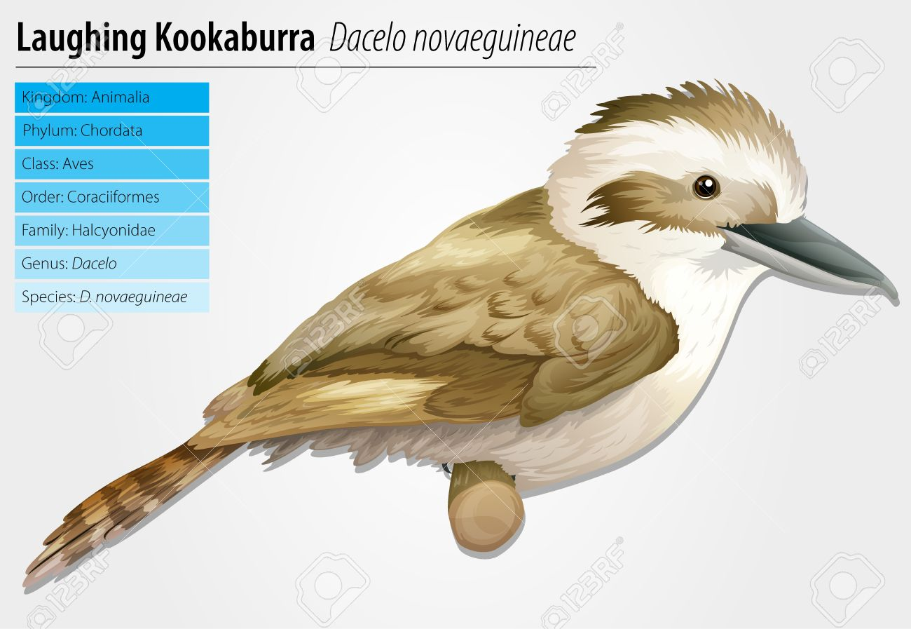 Laughing Kookaburra.