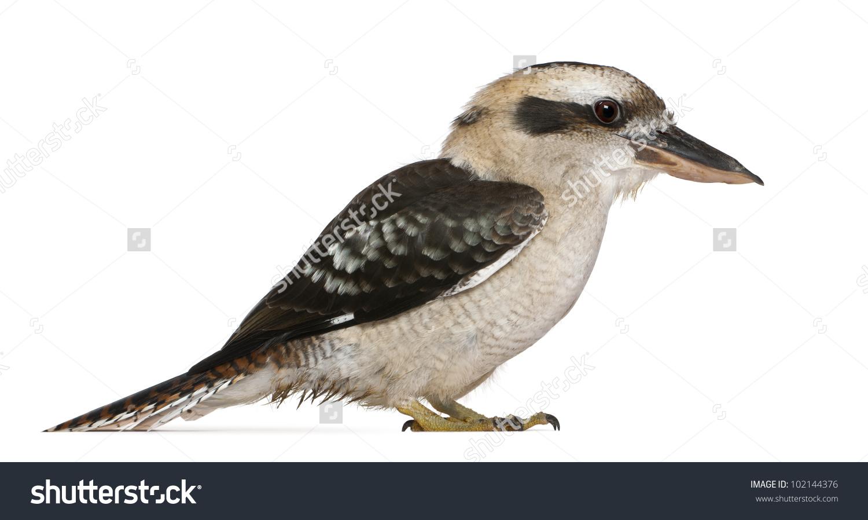 Laughing Kookaburra Dacelo Novaeguineae Carnivorous Bird Stock.