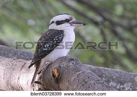 "Stock Photograph of ""Laughing Kookaburra (Dacelo novaeguineae."