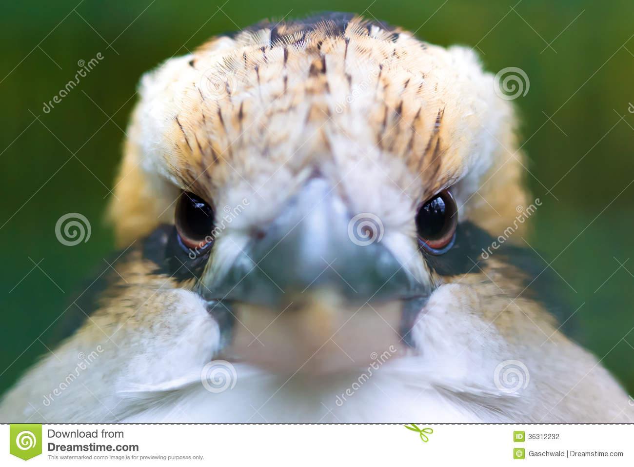 Laughing Kookaburra (Dacelo Novaeguineae) Stock Photography.