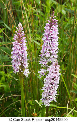 Stock Photographs of Common Spotted Orchid flowers.