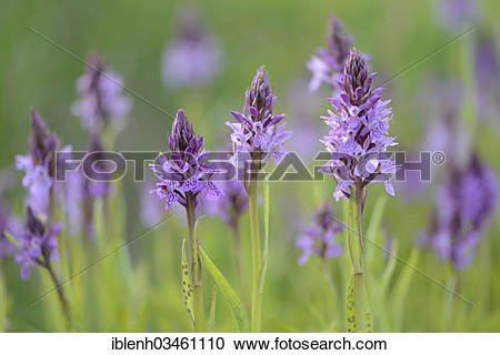 "Stock Photography of ""Heath Spotted Orchid or Moorland Spotted."