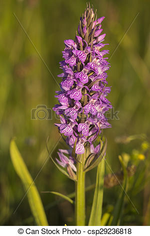 Stock Photography of Southern Marsh Orchid (Dactylorhiza.