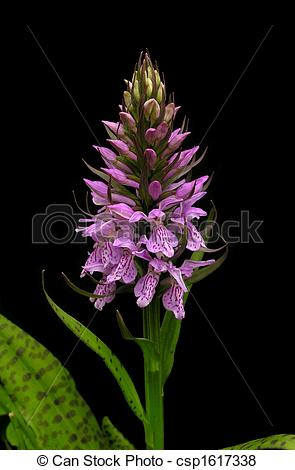 Pictures of Leopard Marsh Orchid.